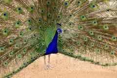 Påfågel i ett showlynne Arkivfoto