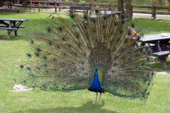 Påfågel i fotaPark County kork Arkivfoton