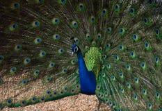Påfågel i gårdsplanen Arkivfoton