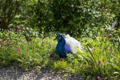Påfågel i gräset som vilar i Graz, Österrike royaltyfria bilder