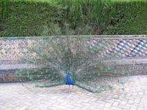 Påfågel i kungliga trädgårdar Sevilla Spain Fotografering för Bildbyråer