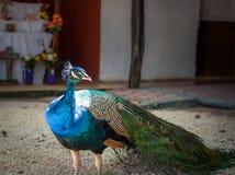 Påfågel i yucatan Mexico i dagen Arkivfoton