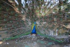 Påfågel i zoo på petchburien Arkivbilder