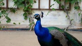 Påfågel i zoo Stående av en fågel med ljus blå fjäderdräkt på halsen Royaltyfria Foton