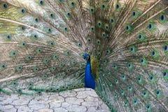 Påfågel med öppna fjädrar Arkivfoton