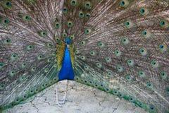 Påfågel med öppna fjädrar Royaltyfri Bild