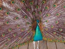 Påfågel med den öppnade svansen Arkivbild