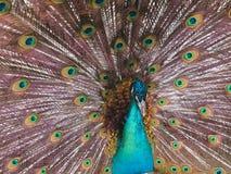 Påfågel med den öppnade svansen Arkivfoton