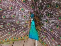 Påfågel med den öppnade svansen Royaltyfri Foto