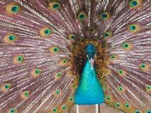 Påfågel med den öppnade svansen Arkivbilder