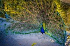 Påfågel med den flödande svansen i zoo royaltyfria foton