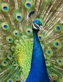Påfågel med fjädrar Arkivfoto