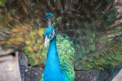 Påfågel med fjädrar Royaltyfria Bilder