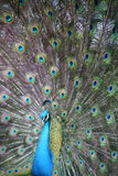 Påfågel med full fjäderdräkt royaltyfri foto