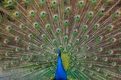 Påfågel med mångfärgade fjädrar Fotografering för Bildbyråer