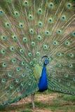 Påfågel med spridningsvansen Arkivfoto
