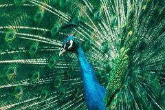 Påfågel med utvidgade fjädrar arkivbild