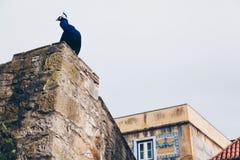Påfågel på den gamla slotten i Lissabon, Portugal arkivbilder
