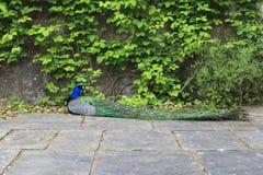 Påfågel på den Powis slotten Royaltyfri Fotografi