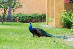 Påfågel på en gräsmatta i en hotellträdgård Arkivfoton