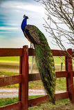 Påfågel på ett staket royaltyfria foton