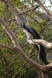 Påfågel på ett träd arkivbild
