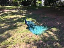 Påfågel på gräs Arkivfoto