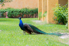 Påfågel på gräsmatta i en hotellträdgård Royaltyfria Bilder