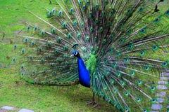 Påfågel på gräsmattan Arkivfoton