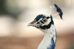 Påfågel på skärm Fotografering för Bildbyråer