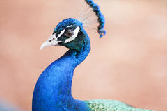 Påfågel på skärm Royaltyfria Bilder