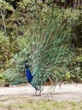 Påfågel på skärm Royaltyfria Foton