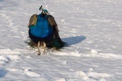 Påfågel på snön Royaltyfri Foto