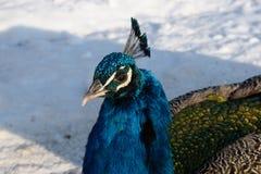 Påfågel på snön Arkivbild