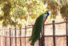 Påfågel på staket i zooen Fotografering för Bildbyråer