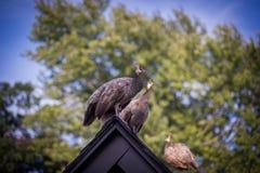 Påfågel på taket Arkivfoton