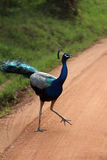 Påfågel på vägen Royaltyfria Foton