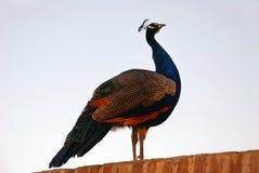 Påfågel på väggen Arkivfoto