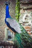 Påfågel på väggen i jordning av den Herstmonceux slotten Arkivfoto