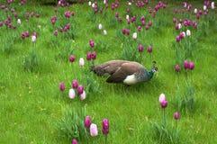 Påfågel på våren Arkivfoto