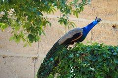 Påfågel på vinrankan, Lleida royaltyfri fotografi