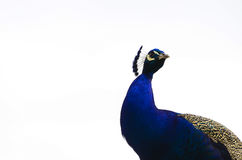 Påfågel på vit Royaltyfria Bilder