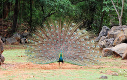 Påfågel på zooen Arkivfoton