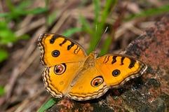 Påfågel Pansy Butterfly fotografering för bildbyråer