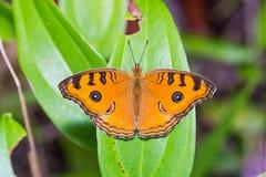 Påfågel Pansy Butterfly Arkivfoton