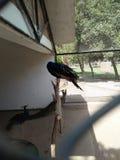 Påfågel /peahen /peafowl; för både man och kvinnlig; Royaltyfri Foto