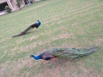 Påfågel /peahen /peafowl & x28; för både man och kvinnlig Arkivfoto