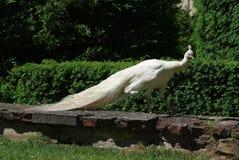 påfågel s för albinochateauträdgård Arkivfoton