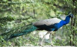 Påfågel Sohna, Haryana, Indien Royaltyfri Fotografi
