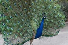 Påfågel som av visar dess fjädrar Arkivfoto